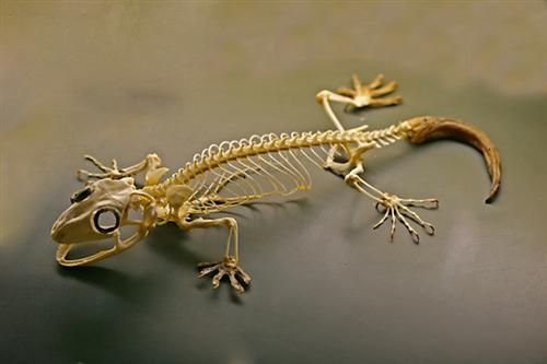 Gecko Skeleton