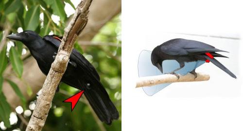 Crow Cam