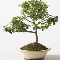 Natal Plum Bonsai Tree Produces Miniature Fruit
