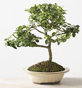 Plum Bonsai Tree