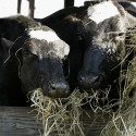 FDA Gives Cloned Beef And Dairy The OK