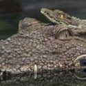 Alligator Decoy Guards Your Pond, Saves Zoos Money