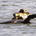 Otters Now Taking Home Videos In Monterey Bay
