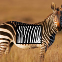 StripeSpotter Software Identifies Zebras Like Barcodes