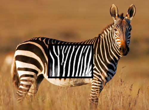StripeSpotter (Image courtesy Animal Planet)