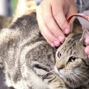 Fat Cats Will Think These Cat Headphones Are the Cat's Meow