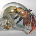 Artist Makes Hermit Crab A New Glass Shell