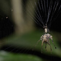 Mind Blown: New Species Of Spider Builds A Decoy Of Itself