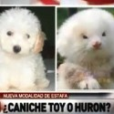 LMAO: Dude Buys Toy Poodles, Gets Ferrets on Steroids Instead