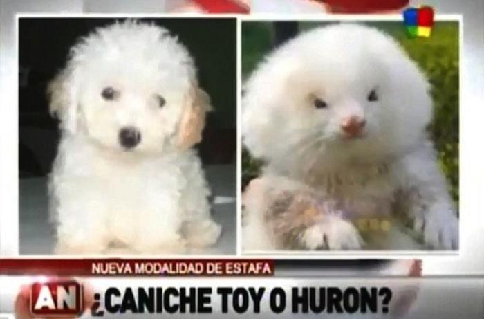 Dog Ferrets