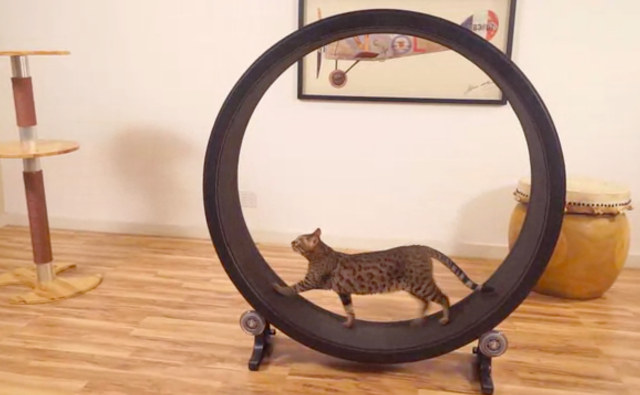 cat-exercise-wheel