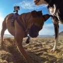 This Harness Lets You Strap A GoPro To Your Dog
