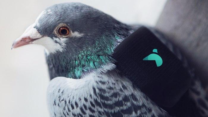 pigeon-air-patrol-1